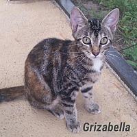 Adopt A Pet :: Grizabella - Fort Pierce, FL