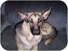 German Shepherd Dog Dog for adoption in Hillsboro, Ohio - Riley AKC Awesome Family Dog