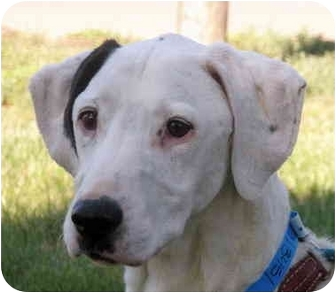 Dalmatian Dog for adoption in Turlock, California - Dallas