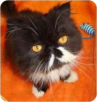 Persian Cat for adoption in Beverly Hills, California - Picasso
