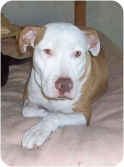 Bull Terrier/American Staffordshire Terrier Mix Dog for adoption in Sacramento, California - April