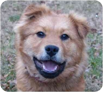 Golden Retriever/Finnish Spitz Mix Dog for adoption in Mocksville, North Carolina - Sandman