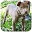 Photo 3 - Labrador Retriever/Terrier (Unknown Type, Medium) Mix Puppy for adoption in Mt. Prospect, Illinois - Taffy
