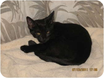 Domestic Shorthair Cat for adoption in Cincinnati, Ohio - Zippy