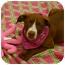 Photo 4 - American Staffordshire Terrier/Labrador Retriever Mix Puppy for adoption in Sacramento, California - Buttercup cute