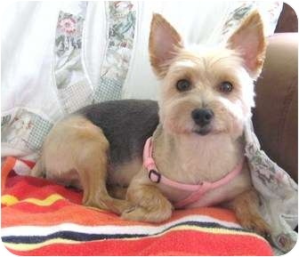 Yorkie, Yorkshire Terrier Mix Dog for adoption in Hardy, Virginia - Portia