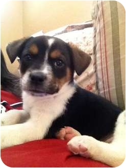 Border Collie/Australian Cattle Dog Mix Puppy for adoption in Tustin, California - Simba