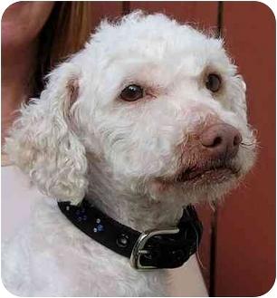 Miniature Poodle/Bichon Frise Mix Dog for adoption in Vista, California - Buster
