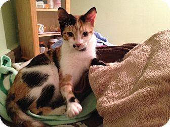 Calico Cat for adoption in East Hanover, New Jersey - Rose
