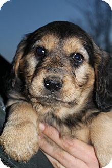 Golden Retriever/Rottweiler Mix Puppy for adoption in Bedminster, New Jersey - Martina McBride