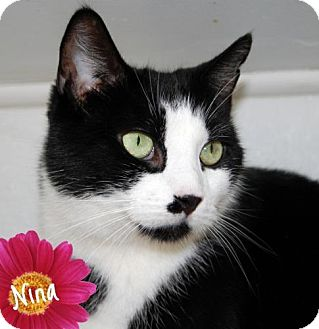 Domestic Shorthair Cat for adoption in River Edge, New Jersey - Nina
