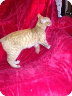 Manx Cat for adoption in Simpsonville, South Carolina - Valerie