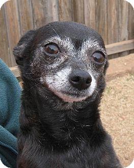 Chihuahua/Chihuahua Mix Dog for adoption in Abilene, Texas - Tessie
