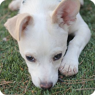 Terrier (Unknown Type, Small)/Chihuahua Mix Puppy for adoption in Phoenix, Arizona - Radar