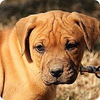 Adopt A Pet :: Beatrice - Brattleboro, VT