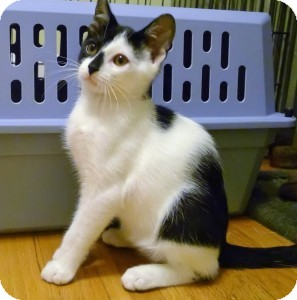 Domestic Shorthair Kitten for adoption in Medford, Massachusetts - Quinn