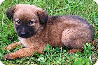Golden Retriever/German Shepherd Dog Mix Puppy for adoption in Oswego, Illinois - I'M ADOPTED Kassidy Hammer