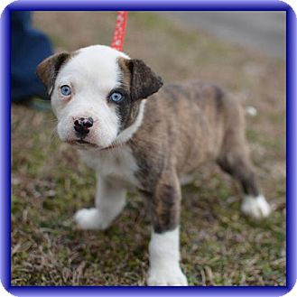 Pit Bull Terrier/Boxer Mix Puppy for adoption in Foster, Rhode Island - Blue (POM-CD)