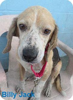 Beagle Mix Dog for adoption in Georgetown, South Carolina - Billy Jack