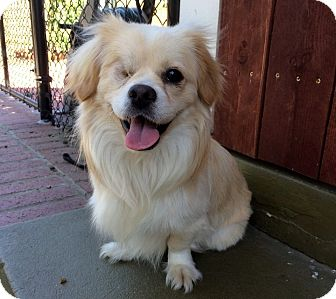 Spaniel (Unknown Type)/Papillon Mix Dog for adoption in Los Angeles, California - Sniper