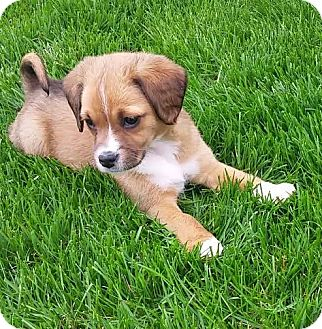 Beagle Mix Puppy for adoption in Sugar Grove, Illinois - Baby Girl