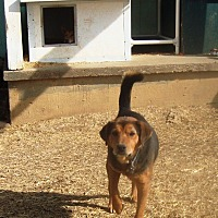Hound (Unknown Type)/American Pit Bull Terrier Mix Dog for adoption in Columbia, Kentucky - Rocky