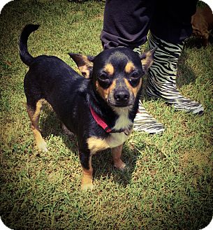 Chihuahua Dog for adoption in Fort Valley, Georgia - Lil Bit