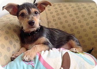 Yorkie, Yorkshire Terrier/Dachshund Mix Puppy for adoption in Phoenix, Arizona - John Lenin