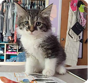 Domestic Longhair Kitten for adoption in Lombard, Illinois - Storm II