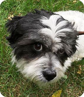 Lhasa Apso Mix Dog for adoption in West Chicago, Illinois - Eeyore