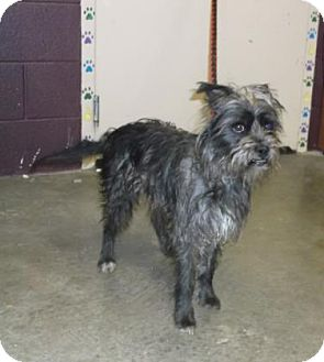 Wirehaired Fox Terrier Mix Dog for adoption in Rapid City, South Dakota - Oliver