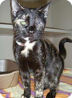 Domestic Shorthair Cat for adoption in Hamburg, New York - Sardine