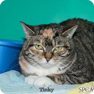 Domestic Shorthair Cat for adoption in Elizabeth City, North Carolina - Tinky  SOS