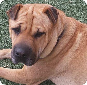 Shar Pei Mix Dog for adoption in Apple Valley, California - Teagan - adopt pending