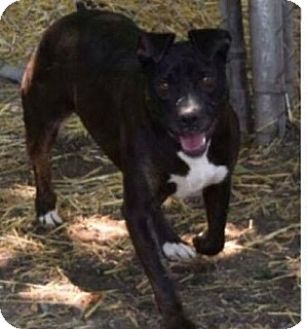 American Pit Bull Terrier Mix Dog for adoption in Saginaw, Michigan - Jenna