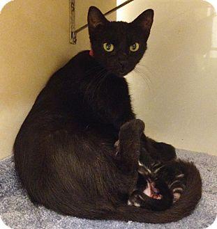 Domestic Shorthair Cat for adoption in Dallas, Texas - Gigi