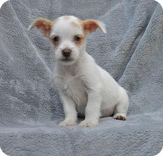 Terrier (Unknown Type, Small) Mix Puppy for adoption in Atlanta, Georgia - Casper