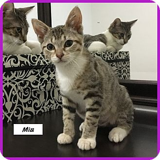 Domestic Shorthair Cat for adoption in Miami, Florida - Mia