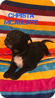 Hound (Unknown Type)/Labrador Retriever Mix Puppy for adoption in Garden City, Michigan - Christa McAuliffe