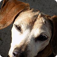 Adopt A Pet :: Roxie - Lavon, TX
