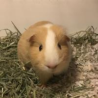 Guinea Pig for adoption in Redmond, Washington - Hen Wen (bonded with Petunia Pig)