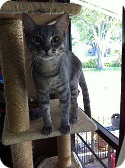 Domestic Shorthair Kitten for adoption in Tampa, Florida - Smokey