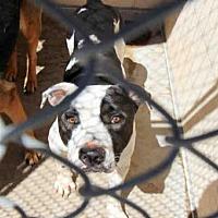 Adopt A Pet :: A3976479 - Phoenix, AZ