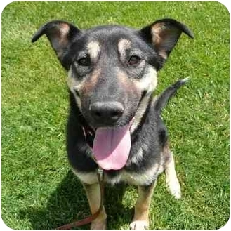 German Shepherd Dog Mix Dog for adoption in San Clemente, California - JESSIE