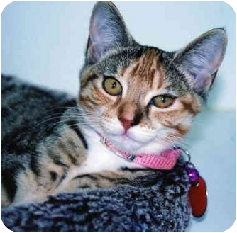 Domestic Shorthair Kitten for adoption in Arlington Heights, Illinois - Tiger Lilly