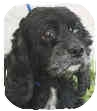 Cocker Spaniel Dog for adoption in San Diego, California - Boo