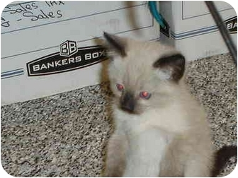 Siamese Kitten for adoption in Hesperia, California - chocolate
