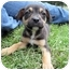 Photo 4 - American Bulldog/Rottweiler Mix Puppy for adoption in Mahwah, New Jersey - Jesse