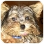 Photo 2 - Yorkie, Yorkshire Terrier Puppy for adoption in West Palm Beach, Florida - Olivia