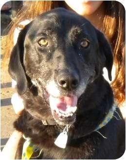 Labrador Retriever Dog for adoption in Plain City, Ohio - Jenny